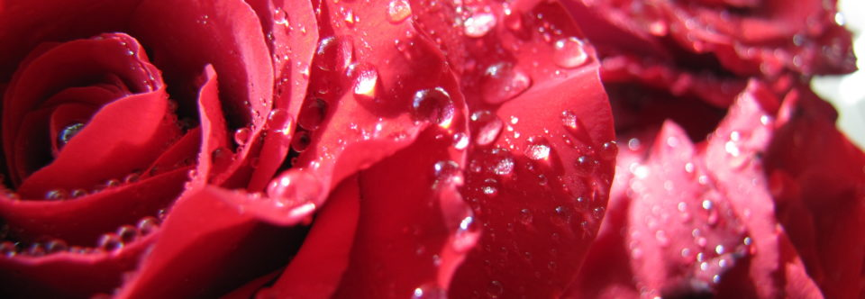Alles over rozen